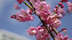 【2020年】岡本梅林公園 開花状況 (神戸 梅の名所)